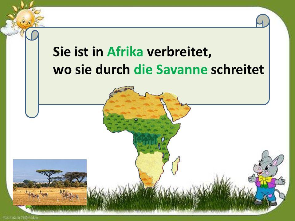 Sie ist in Afrika verbreitet, wo sie durch die Savanne schreitet