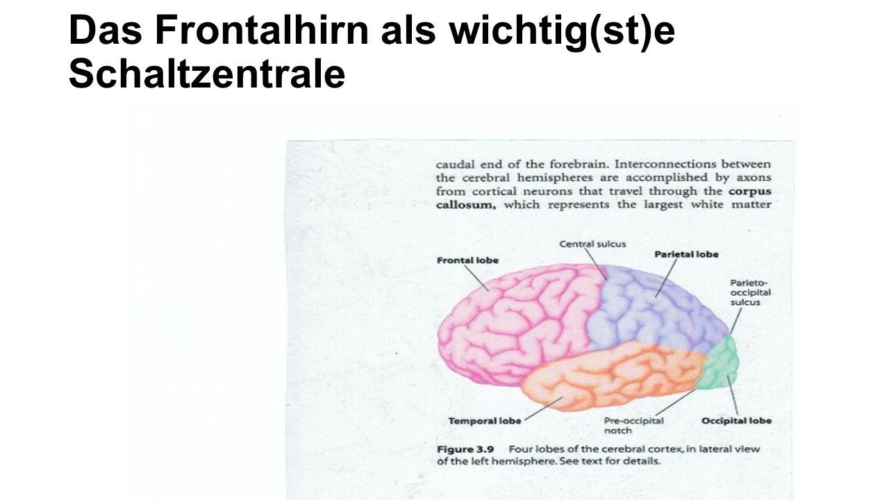 Das «obere» und «untere» Gehirn Frontallappen und limbisches System