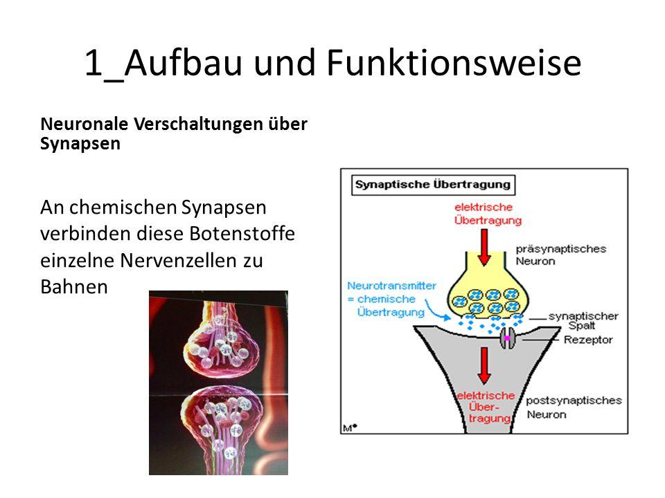 1_Aufbau und Funktionsweise Neuronale Verschaltungen über Synapsen An chemischen Synapsen verbinden diese Botenstoffe einzelne Nervenzellen zu Bahnen