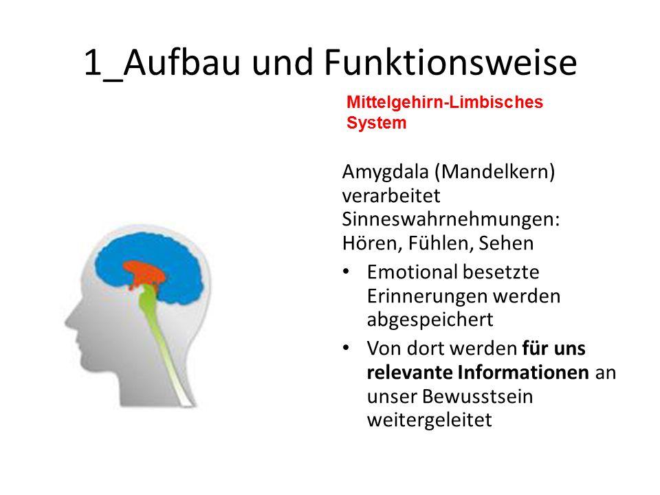 1_Aufbau und Funktionsweise Mittelgehirn-Limbisches System Amygdala (Mandelkern) verarbeitet Sinneswahrnehmungen: Hören, Fühlen, Sehen Emotional besetzte Erinnerungen werden abgespeichert Von dort werden für uns relevante Informationen an unser Bewusstsein weitergeleitet