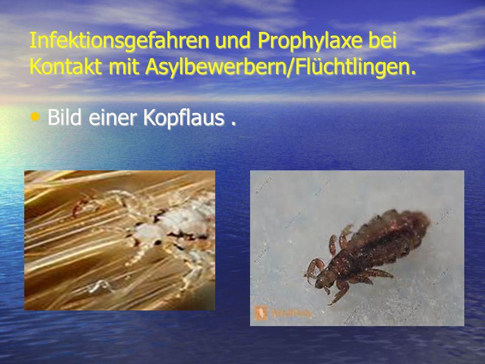 Infektionsgefahren und Prophylaxe bei Kontakt mit Asylbewerbern/Flüchtlingen. Bild einer Kopflaus. Bild einer Kopflaus.