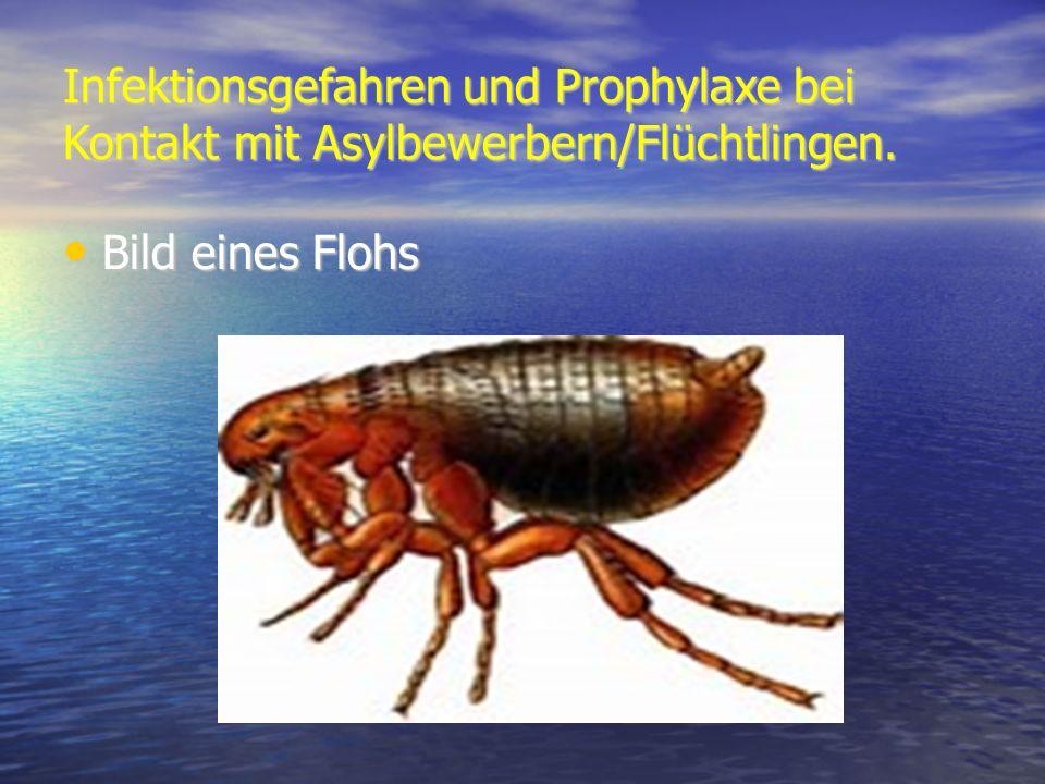 Infektionsgefahren und Prophylaxe bei Kontakt mit Asylbewerbern/Flüchtlingen. Bild eines Flohs Bild eines Flohs