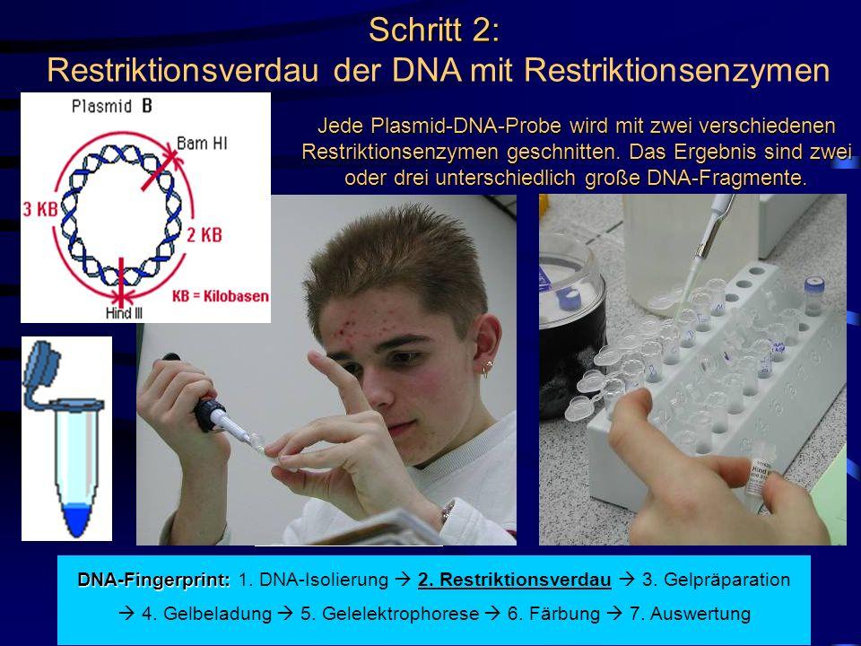 Schritt 2: Schritt 2: Restriktionsverdau der DNA mit Restriktionsenzymen Jede Plasmid-DNA-Probe wird mit zwei verschiedenen Restriktionsenzymen geschnitten.