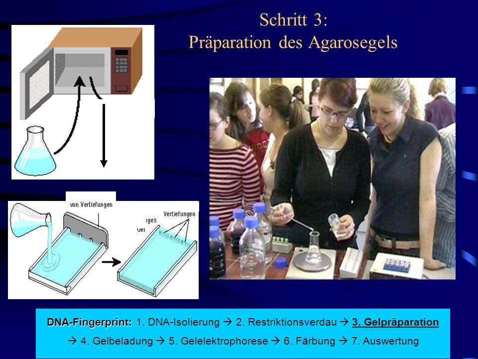 Schritt 3: Präparation des Agarosegels DNA-Fingerprint: DNA-Fingerprint: 1. DNA-Isolierung  2. Restriktionsverdau  3. Gelpräparation  4. Gelbeladun
