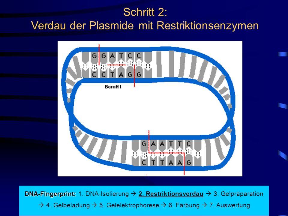 Schritt 2: Verdau Schritt 2: Verdau der Plasmide mit Restriktionsenzymen DNA-Fingerprint: DNA-Fingerprint: 1.