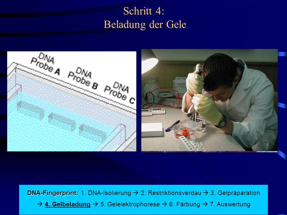 Schritt 4: Beladung der Gele DNA-Fingerprint: DNA-Fingerprint: 1. DNA-Isolierung  2. Restriktionsverdau  3. Gelpräparation  4. Gelbeladung  5. Gel