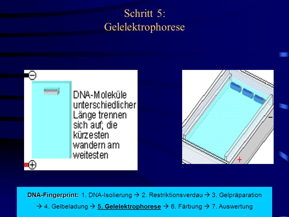 Schritt 5: Gelelektrophorese DNA-Fingerprint: DNA-Fingerprint: 1.