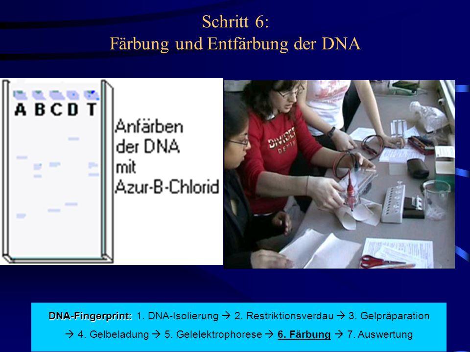 Schritt 6: Färbung und Entfärbung der DNA DNA-Fingerprint: DNA-Fingerprint: 1.