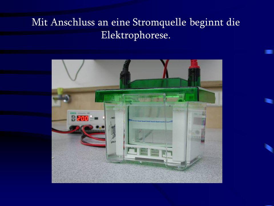 Mit Anschluss an eine Stromquelle beginnt die Elektrophorese.