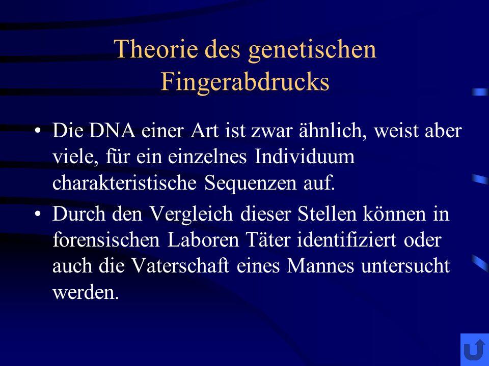 Theorie des genetischen Fingerabdrucks Die DNA einer Art ist zwar ähnlich, weist aber viele, für ein einzelnes Individuum charakteristische Sequenzen auf.