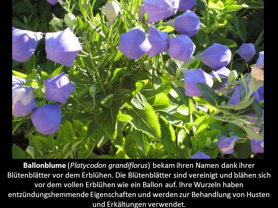 Blaue Zebra-Primel (Primula acaulis 'Zebra Blue') ist eine Unterart der Primel mit einer blau-weissen Struktur der Blütenblätter und einem gelben Mitt
