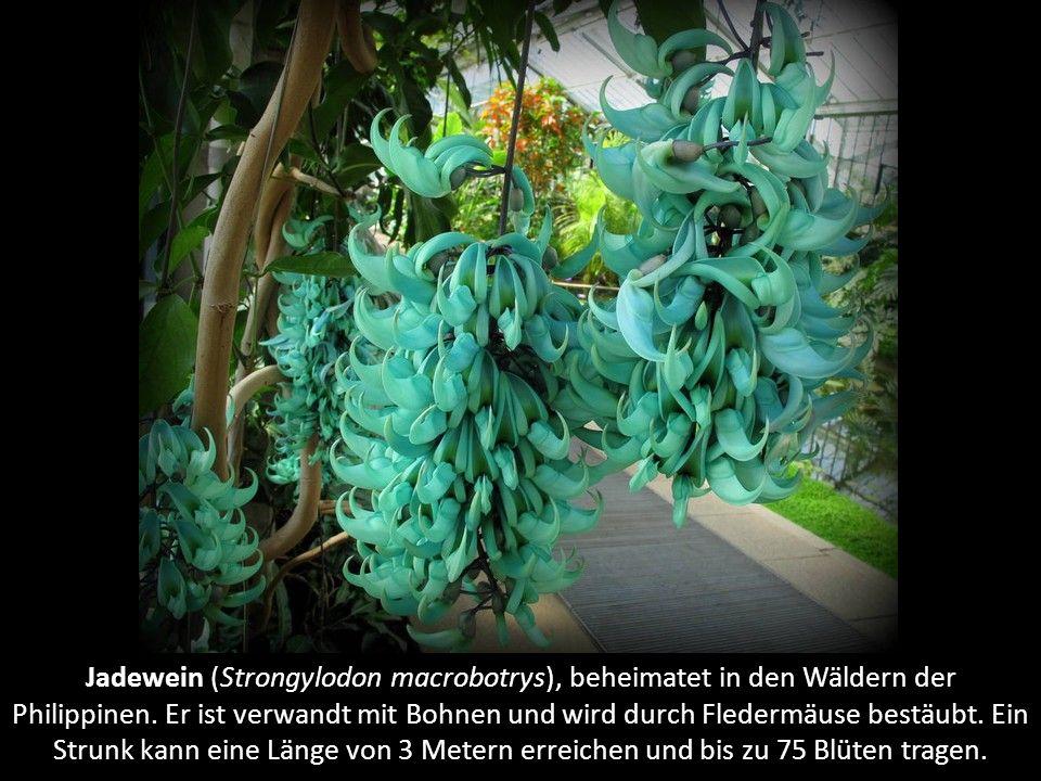 """Gelber Frauenschuh (Cypripedium calceolus), eine Orchideenart. Der Name kommt vom altgriechischen cypripedium, was """"Schuh der Venus"""" bedeutet."""