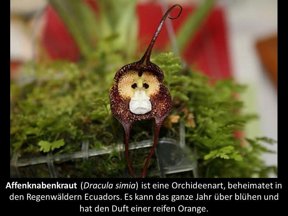 Jadewein (Strongylodon macrobotrys), beheimatet in den Wäldern der Philippinen. Er ist verwandt mit Bohnen und wird durch Fledermäuse bestäubt. Ein St