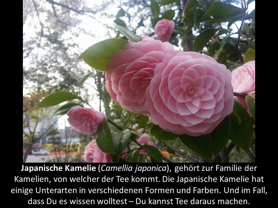 Schachblume (Fritillaria tubiformis) kommt hauptsächlich in den gemäßigten Regionen wie Mittelmeer und westlichem Nordamerika vor. Der Name kommt vom