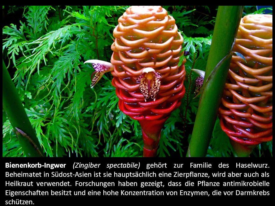 Bienenkorb-Ingwer (Zingiber spectabile) gehört zur Familie des Haselwurz.
