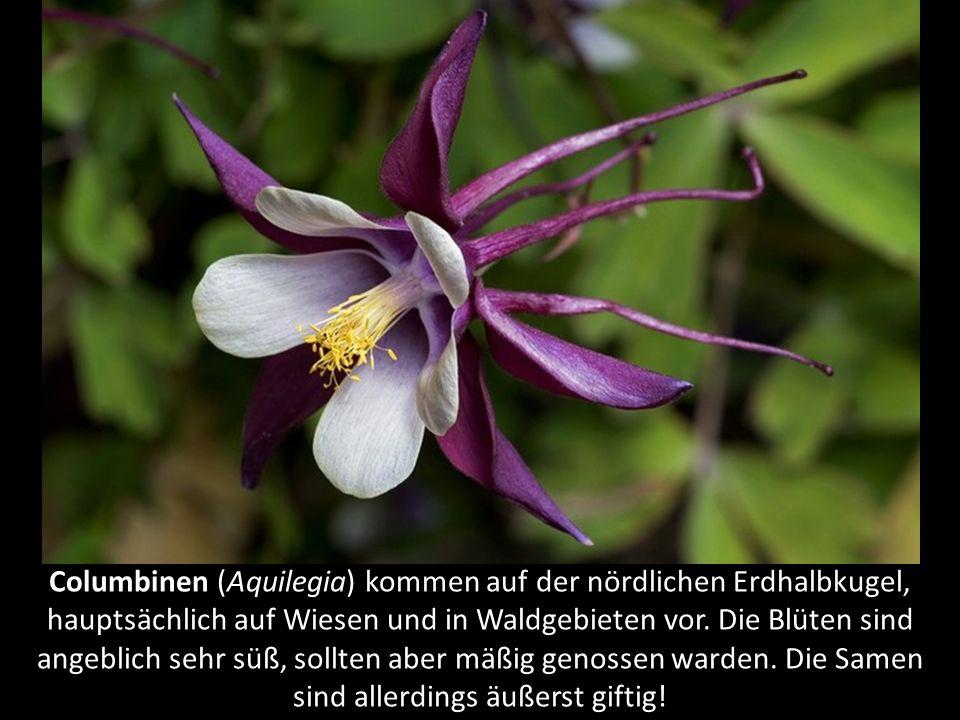 Japanische Krötenlilie (Tricyrtis hirta) ist in Japan beheimatet und kommt zumeist in schattigen, felsigen Gebieten vor.