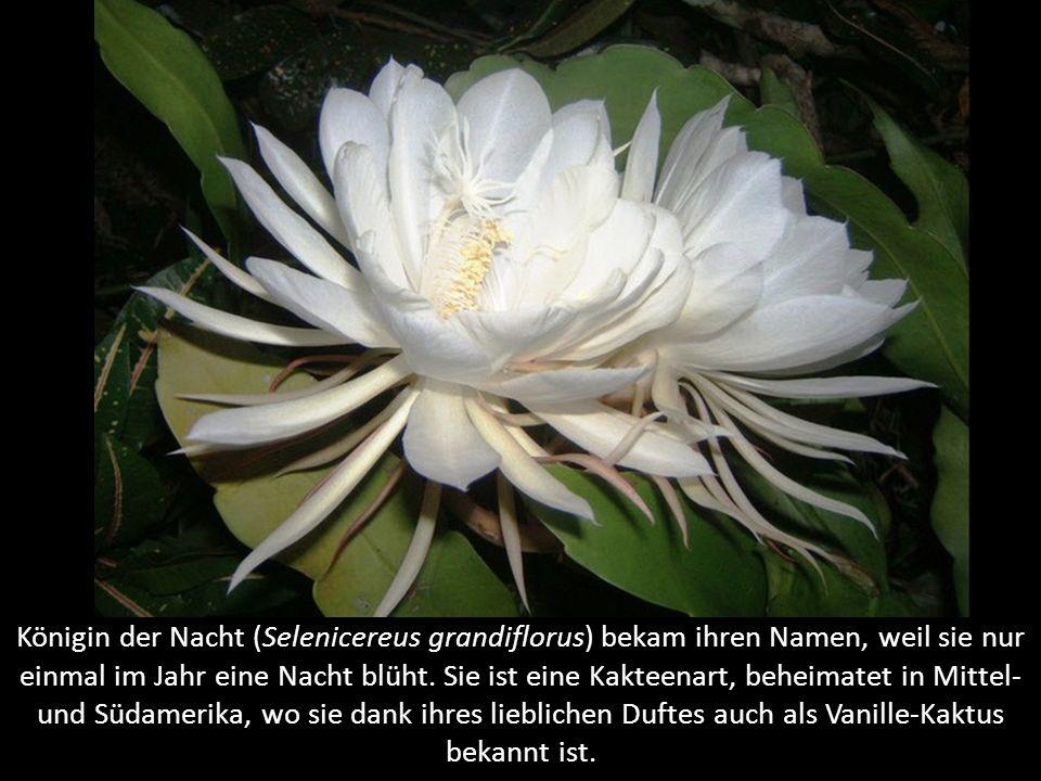 Engelstrompeten (Datura) sind sehr giftige Pflanzen (Blüten und besonders Samen). Vorkommen in Afrika und Amerika. Die Pflanzen sind so gefährlich, da