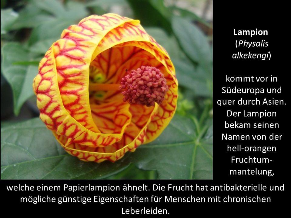 Königin der Nacht (Selenicereus grandiflorus) bekam ihren Namen, weil sie nur einmal im Jahr eine Nacht blüht.