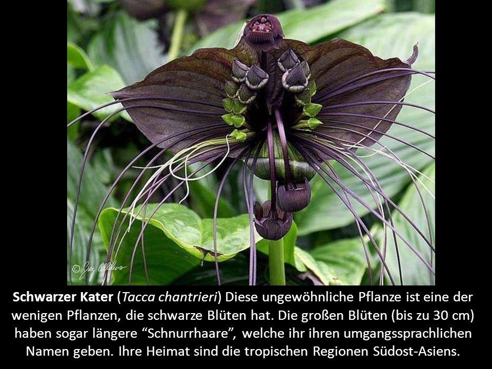 Schwarzer Kater (Tacca chantrieri) Diese ungewöhnliche Pflanze ist eine der wenigen Pflanzen, die schwarze Blüten hat.