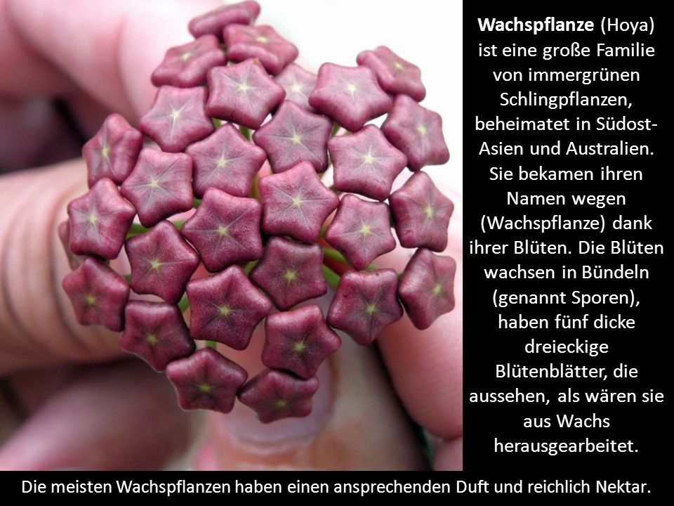 Wachspflanze (Hoya) ist eine große Familie von immergrünen Schlingpflanzen, beheimatet in Südost- Asien und Australien.