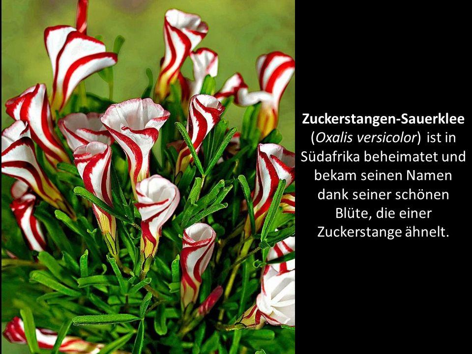 Zuckerstangen-Sauerklee (Oxalis versicolor) ist in Südafrika beheimatet und bekam seinen Namen dank seiner schönen Blüte, die einer Zuckerstange ähnelt.