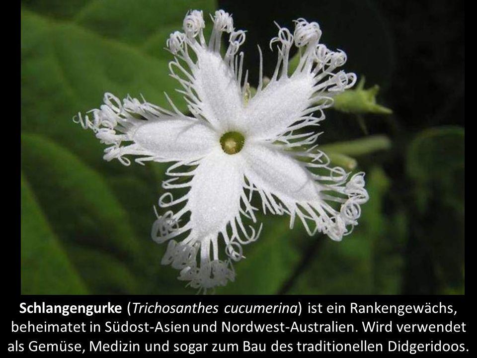 Schlangengurke (Trichosanthes cucumerina) ist ein Rankengewächs, beheimatet in Südost-Asien und Nordwest-Australien.