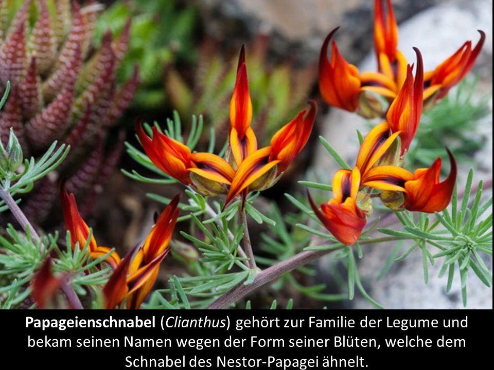 Papageienschnabel (Clianthus) gehört zur Familie der Legume und bekam seinen Namen wegen der Form seiner Blüten, welche dem Schnabel des Nestor-Papagei ähnelt.