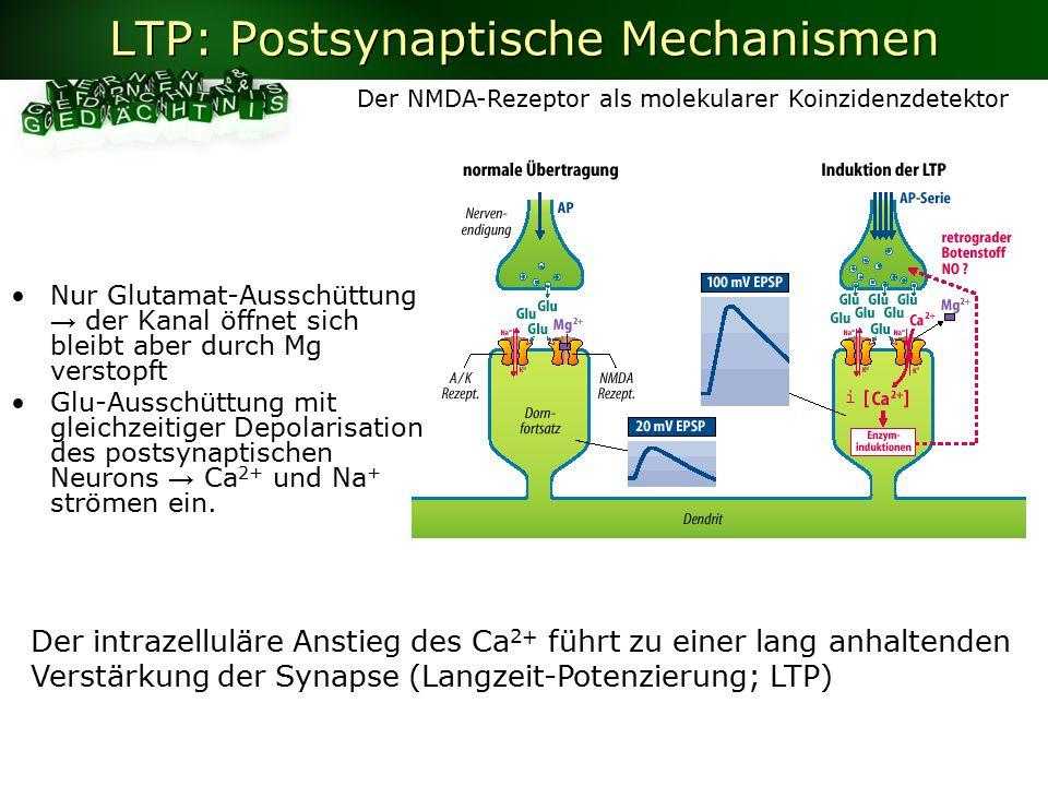 LTP: Postsynaptische Mechanismen Nur Glutamat-Ausschüttung → der Kanal öffnet sich bleibt aber durch Mg verstopft Glu-Ausschüttung mit gleichzeitiger Depolarisation des postsynaptischen Neurons → Ca 2+ und Na + strömen ein.