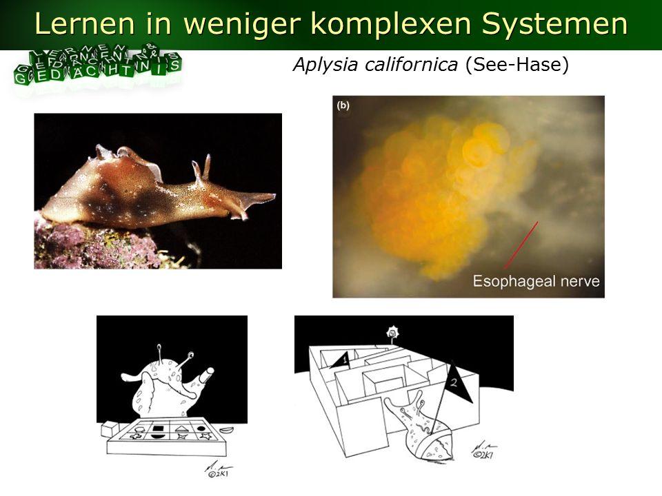 Lernen in weniger komplexen Systemen Aplysia californica (See-Hase)