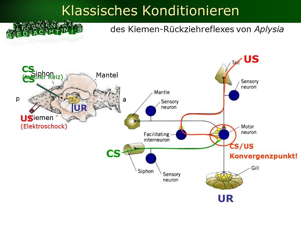 US UR CS des Kiemen-Rückziehreflexes von Aplysia Klassisches Konditionieren UR CS/US Konvergenzpunkt.
