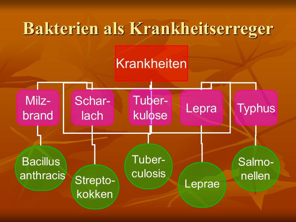 Bakterien als Krankheitserreger Krankheiten Milz- brand Schar- lach Tuber- kulose LepraTyphus Bacillus anthracis Strepto- kokken Tuber- culosis Leprae Salmo- nellen