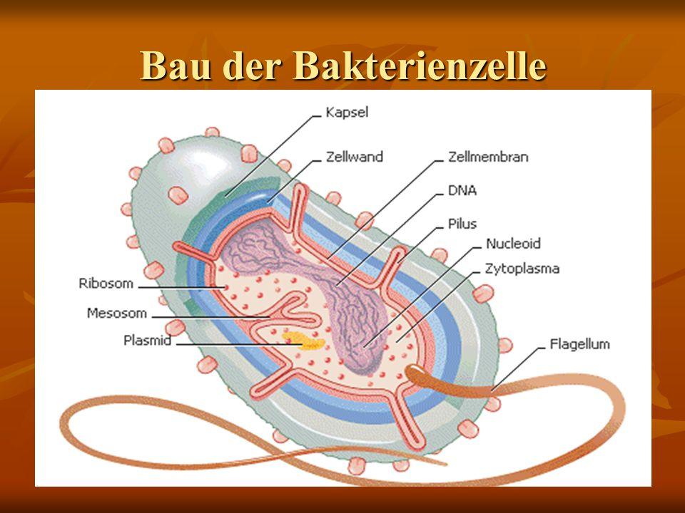 Funktionen Zellwand Schützt und stützt ZellmembranStoffaustausch Nucleoid mit DNA Erbinformationsträger RibosomenProteinsynthese Geißel/ Fimbrien Fortbewegung Plasmid Zusätzliche Gene Kapsel/SchleimhülleSchutz