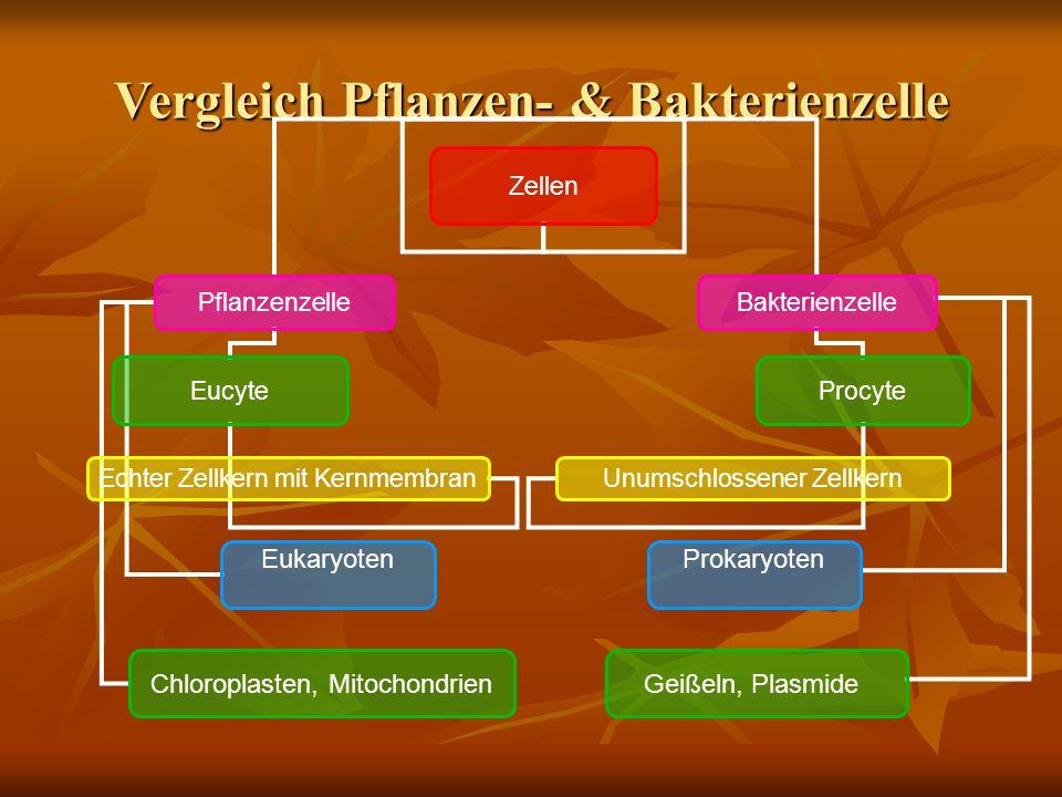 Vergleich Pflanzen- & Bakterienzelle Zellen PflanzenzelleBakterienzelle EucyteProcyte Echter Zellkern mit KernmembranUnumschlossener Zellkern EukaryotenProkaryoten Chloroplasten, MitochondrienGeißeln, Plasmide