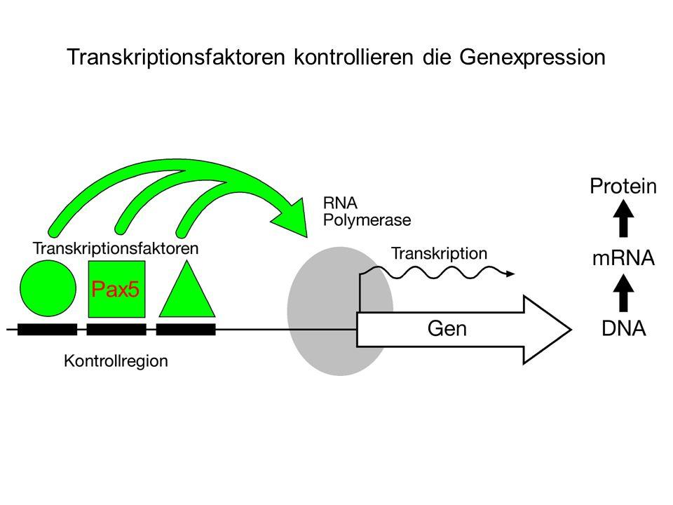 Transkriptionsfaktoren kontrollieren die Genexpression Pax5