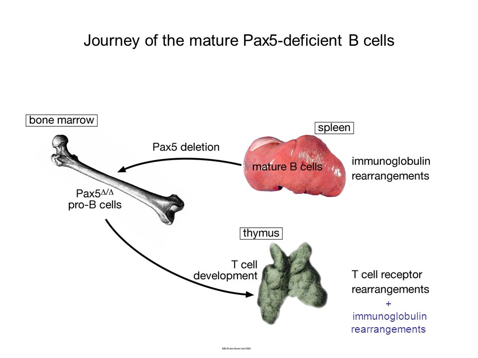 + immunoglobulin rearrangements Journey of the mature Pax5-deficient B cells