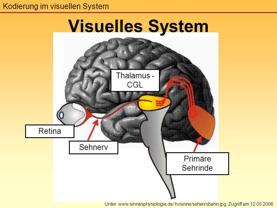 Visuelles System Kodierung im visuellen System Unter: www.sinnesphysiologie.de/ hvsinne/sehen/sbahn.jpg, Zugriff am 12.05.2006 Thalamus - CGL Primäre Sehrinde Retina Sehnerv