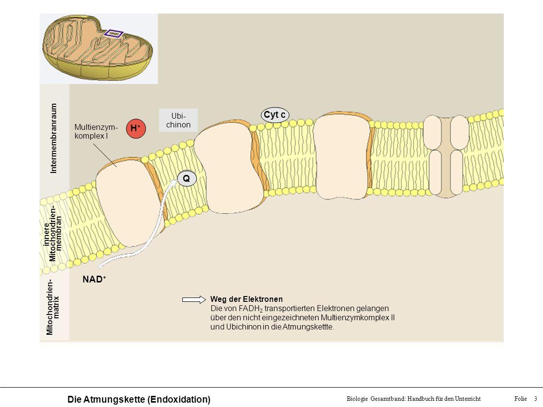 Folie 3Biologie Gesamtband: Handbuch für den Unterricht Die Atmungskette (Endoxidation) Mitochondrien- matrix innere Mitochondrien- membran Intermembr