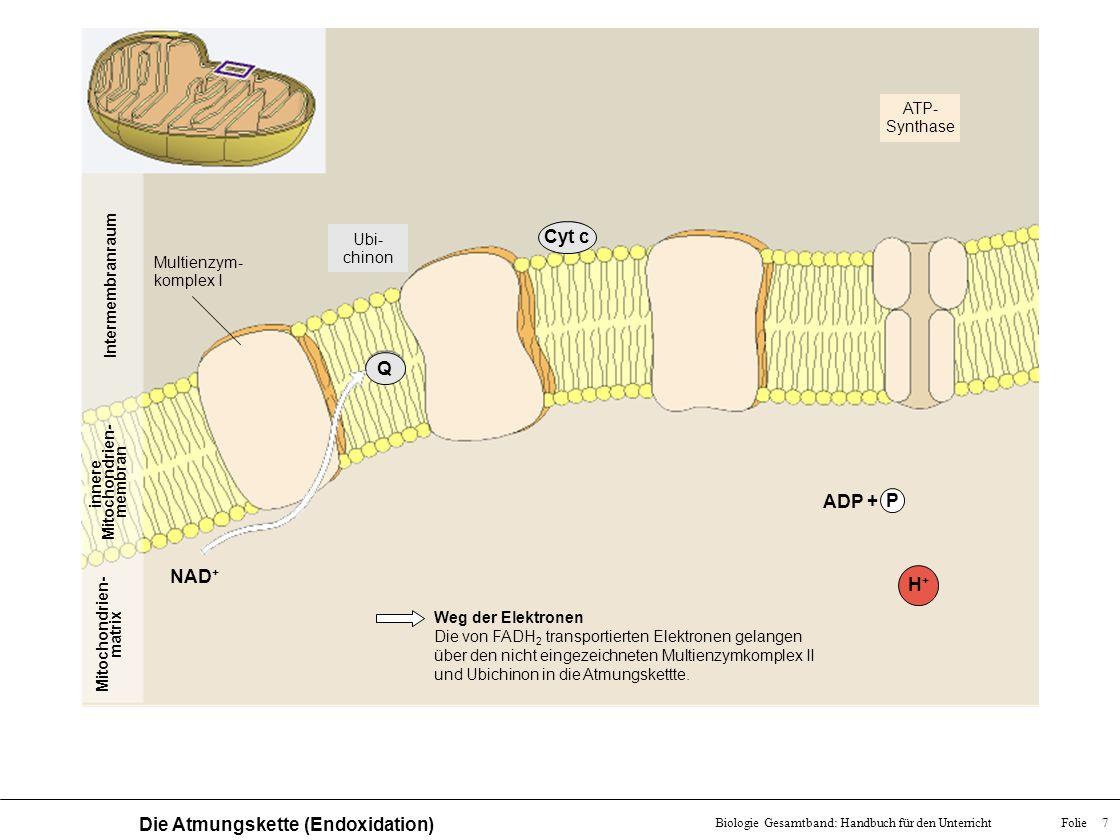 Folie 7Biologie Gesamtband: Handbuch für den Unterricht Die Atmungskette (Endoxidation) Mitochondrien- matrix innere Mitochondrien- membran Intermembr