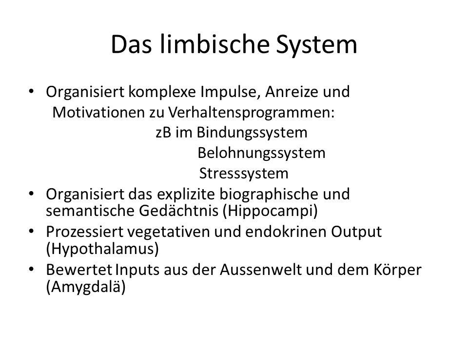 Das limbische System Organisiert komplexe Impulse, Anreize und Motivationen zu Verhaltensprogrammen: zB im Bindungssystem Belohnungssystem Stresssyste