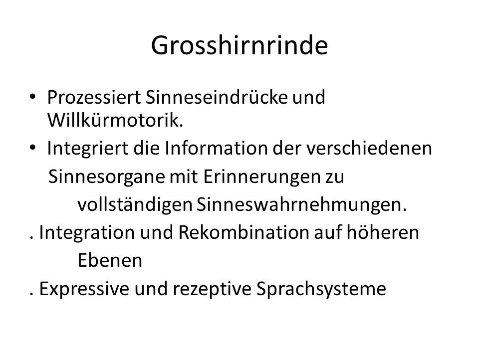 Grosshirnrinde Prozessiert Sinneseindrücke und Willkürmotorik. Integriert die Information der verschiedenen Sinnesorgane mit Erinnerungen zu vollständ