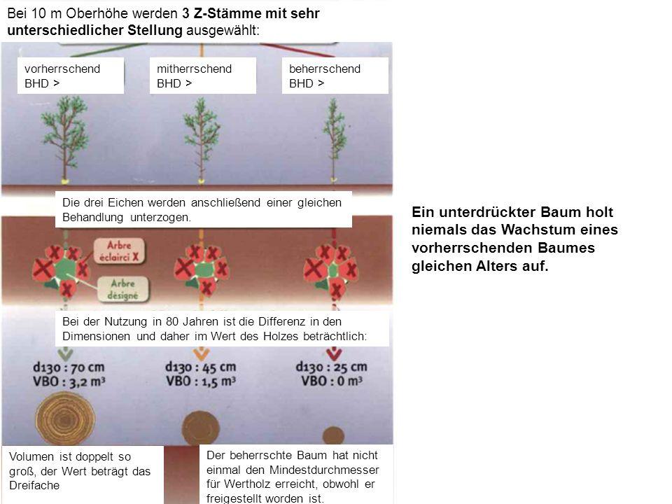 Bei 10 m Oberhöhe werden 3 Z-Stämme mit sehr unterschiedlicher Stellung ausgewählt: vorherrschend BHD > mitherrschend BHD > beherrschend BHD > Die drei Eichen werden anschließend einer gleichen Behandlung unterzogen.