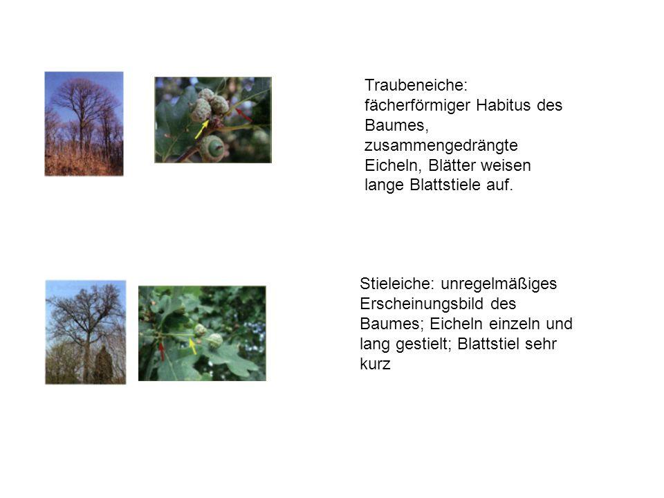 Traubeneiche: fächerförmiger Habitus des Baumes, zusammengedrängte Eicheln, Blätter weisen lange Blattstiele auf.