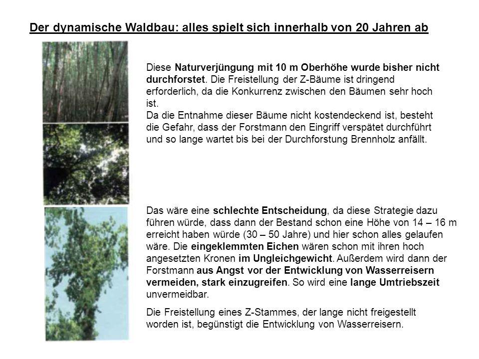 Der dynamische Waldbau: alles spielt sich innerhalb von 20 Jahren ab Diese Naturverjüngung mit 10 m Oberhöhe wurde bisher nicht durchforstet.