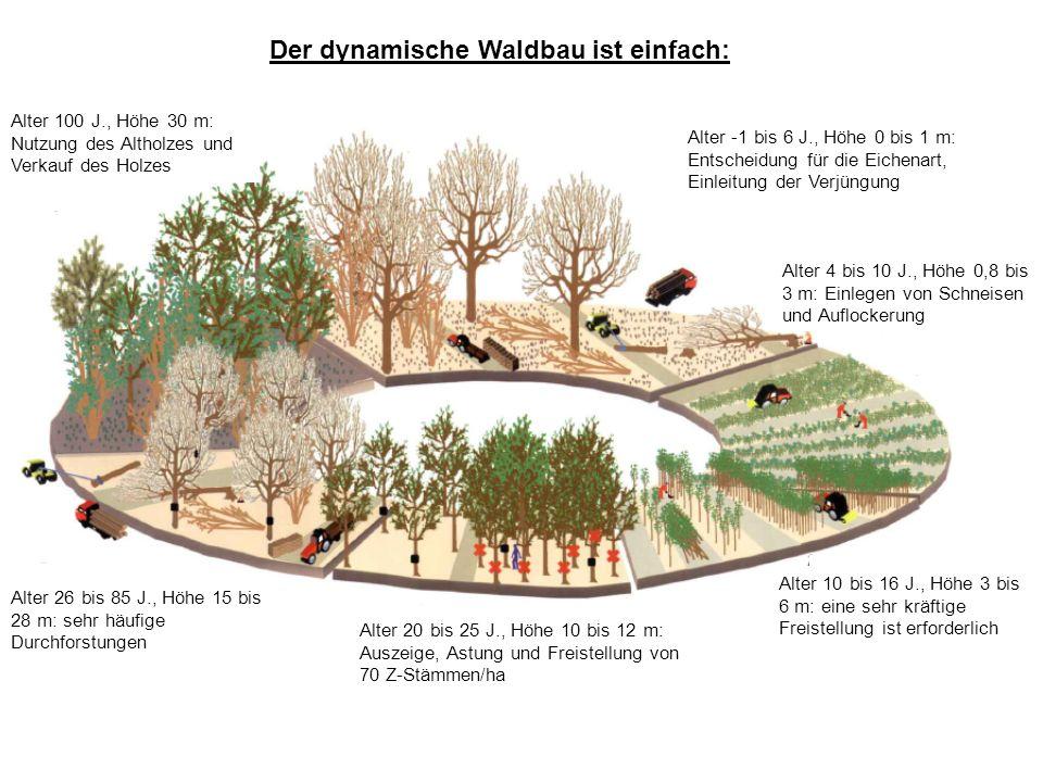 Der dynamische Waldbau ist einfach: Alter 100 J., Höhe 30 m: Nutzung des Altholzes und Verkauf des Holzes Alter -1 bis 6 J., Höhe 0 bis 1 m: Entscheidung für die Eichenart, Einleitung der Verjüngung Alter 10 bis 16 J., Höhe 3 bis 6 m: eine sehr kräftige Freistellung ist erforderlich Alter 20 bis 25 J., Höhe 10 bis 12 m: Auszeige, Astung und Freistellung von 70 Z-Stämmen/ha Alter 26 bis 85 J., Höhe 15 bis 28 m: sehr häufige Durchforstungen Alter 4 bis 10 J., Höhe 0,8 bis 3 m: Einlegen von Schneisen und Auflockerung