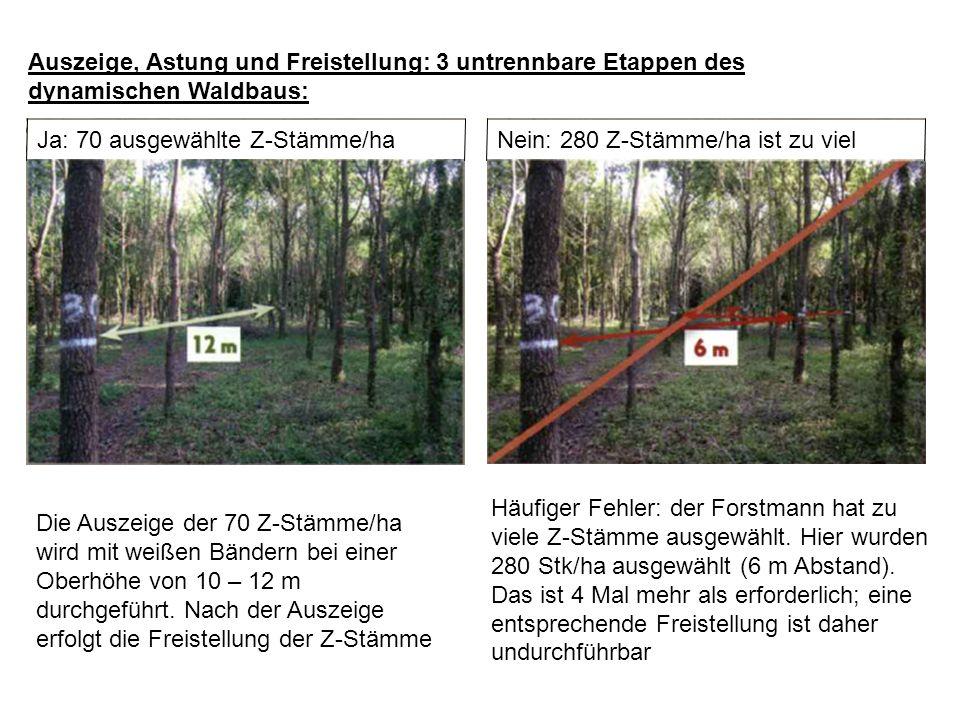 Auszeige, Astung und Freistellung: 3 untrennbare Etappen des dynamischen Waldbaus: Ja: 70 ausgewählte Z-Stämme/ha Die Auszeige der 70 Z-Stämme/ha wird mit weißen Bändern bei einer Oberhöhe von 10 – 12 m durchgeführt.