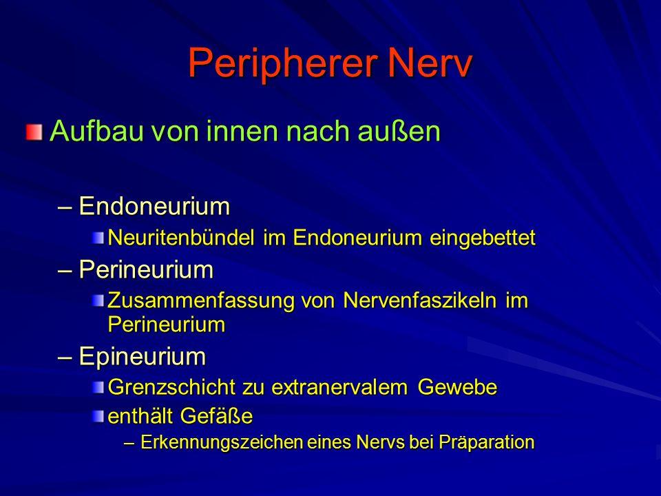 Peripherer Nerv Aufbau von innen nach außen –Endoneurium Neuritenbündel im Endoneurium eingebettet –Perineurium Zusammenfassung von Nervenfaszikeln im