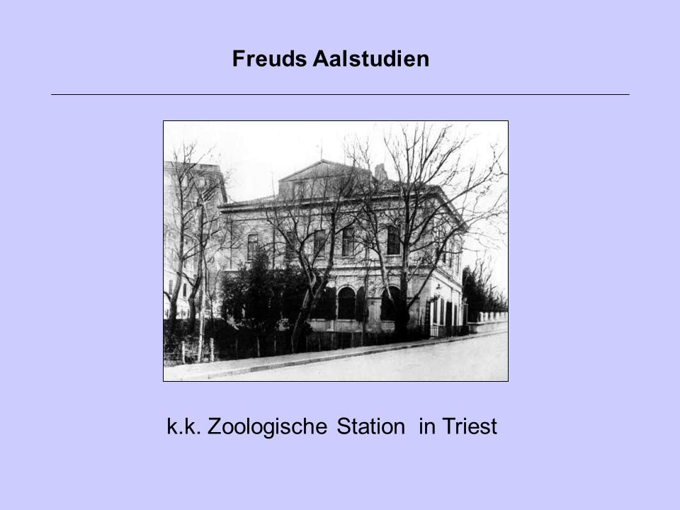 k.k. Zoologische Station in Triest Freuds Aalstudien
