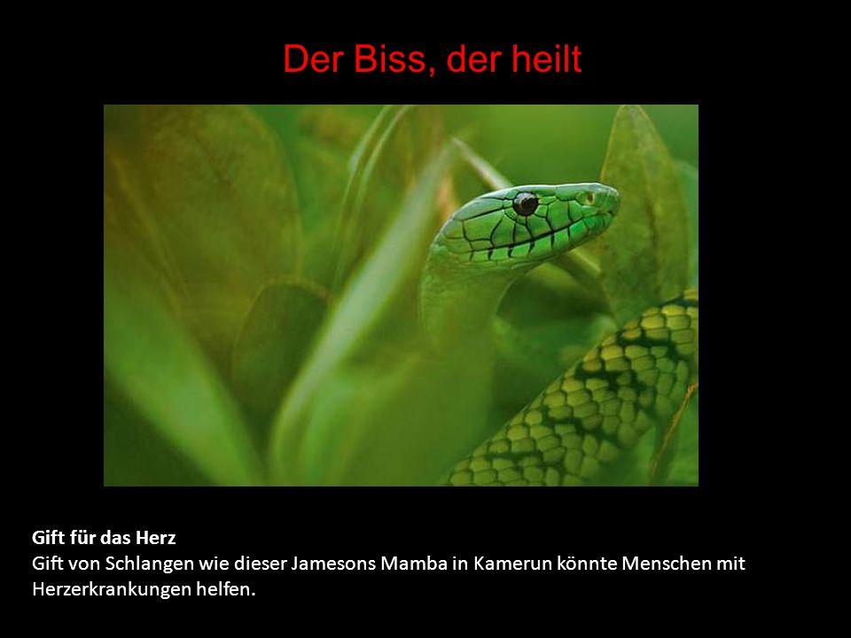 Wirtschaftsfaktor Schlange Ein Schlangenfarmer zeigt eine seiner Königskobras.