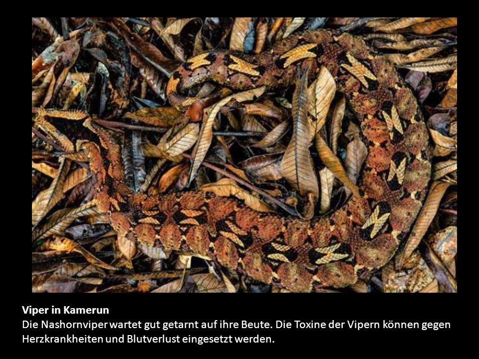 Auf Schlangenjagd Barfuß und mit bloßen Händen sucht der 59-jährige Huang Van Tan in diesem Reisfeld nach Schlangen. Einige der Tiere verzehren er und