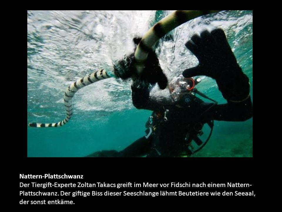 Nattern-Plattschwanz Der Tiergift-Experte Zoltan Takacs greift im Meer vor Fidschi nach einem Nattern- Plattschwanz.